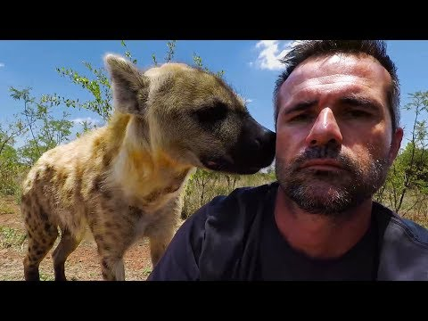 Hello Hyenas! | The Lion Whisperer