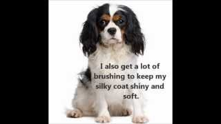 Cavalier King Charles ~ Puppies For Sale, By Pets4you.com