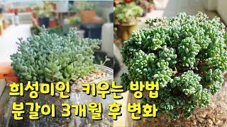 succulent plant. ,희성미인 예쁘게 키우기…