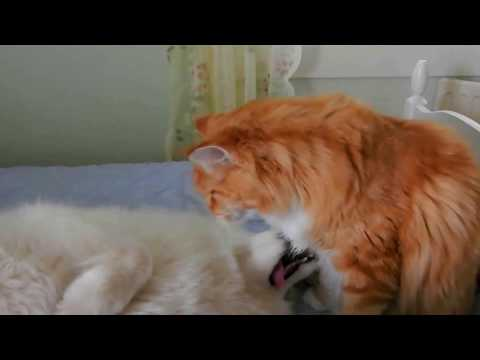 Nika samoyed and Harald maine coon - best friends