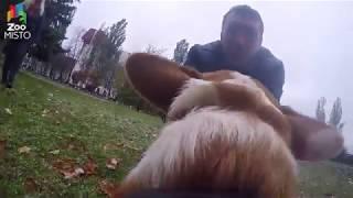 ГоПро и Вельш Корги Кардиган - Мир глазами собаки / GoPro and Welsh Corgi Cardigan - Go pro dog