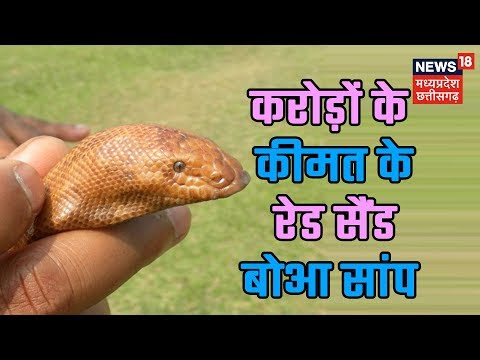 Smuggling of Red Sand Boa continues unabated in Madhya Pradesh