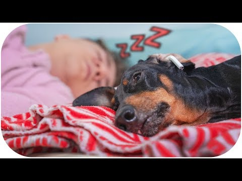 Daddy, please STOP snoring! Funny dachshund dog video!