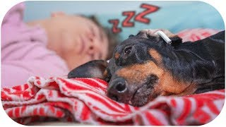 daddy-please-stop-snoring-funny-dachshund-dog-video