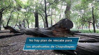 El proyecto para el Bosque no contempla el rescate de esta especie centenaria y sagrada; preservarlos y crear una ruta, propone el investigador Saúl Alcántara