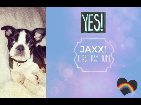 Boston terrier puppy Jaxx first day home