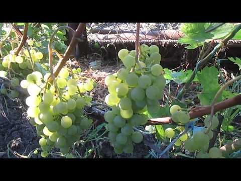 Сорт технического винограда Цитронный Магарача