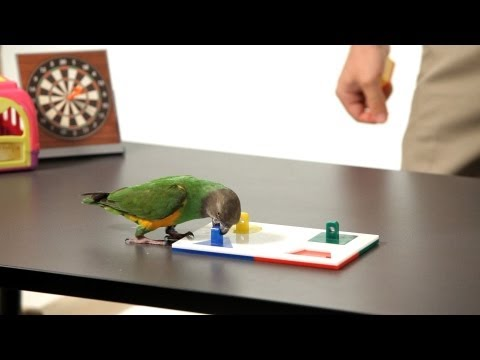 How to Teach Your Parrot to Do a Puzzle | Parrot Training