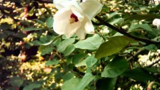 Magnolia sieboldii video