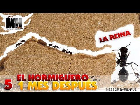 EL HORMIGUERO POR DENTRO 1 MES DESPUÉS   Hormigas Messor Barbarus