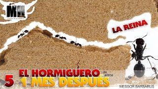 Gambar cover EL HORMIGUERO POR DENTRO 1 MES DESPUÉS | Hormigas Messor Barbarus