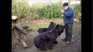 Teddy,  Newfoundland Dog Training The Youngsters.wmv