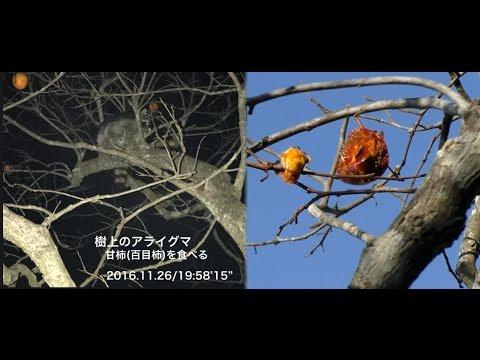 アライグマ捕獲Series④-2  2016
