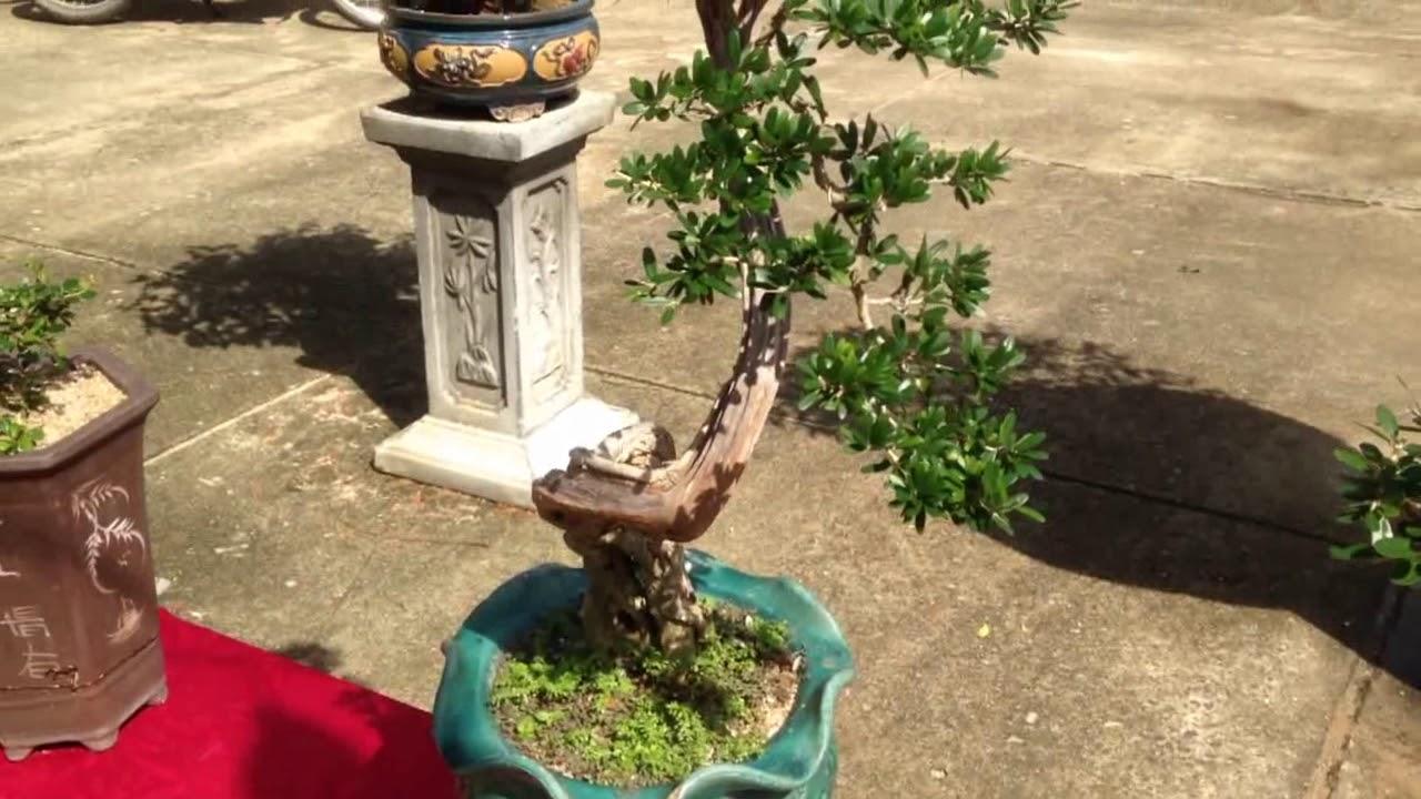Cay Nguyệt Quế Chất Qua đi Bonsai Binh Dinh