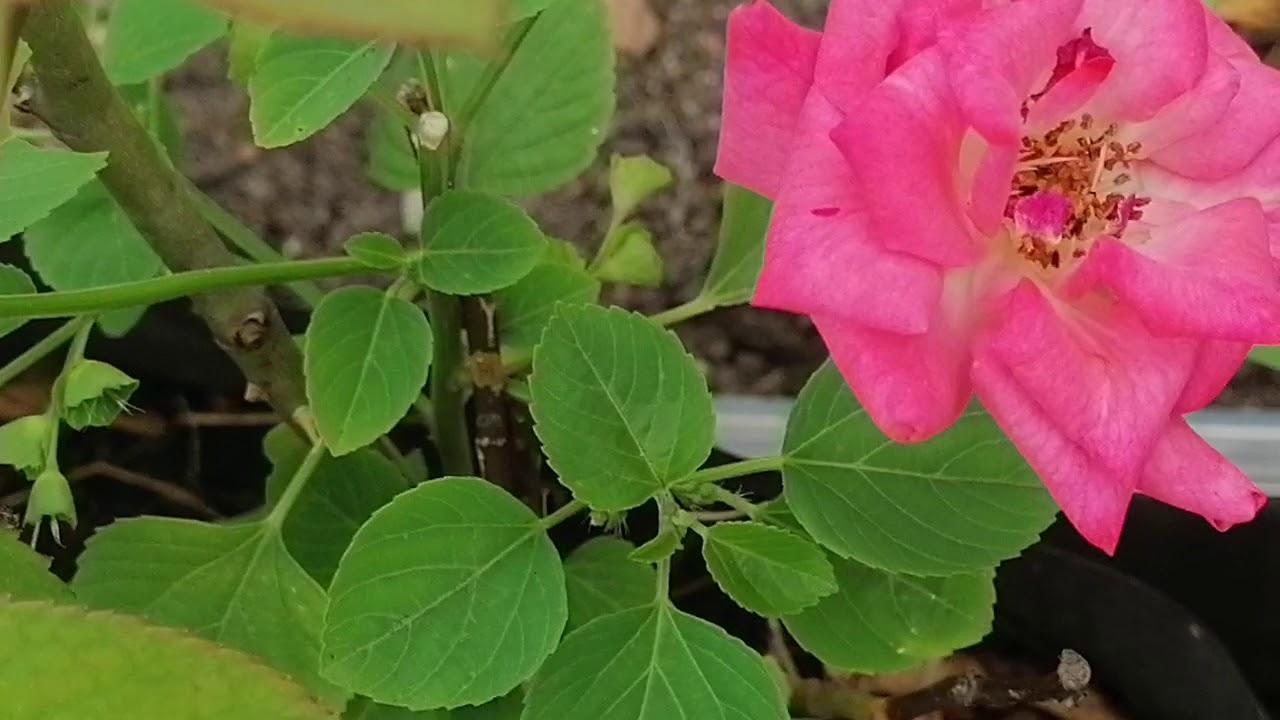 Qq ก หลาบส สวย Bunga Ros Warna Cantik Youtube