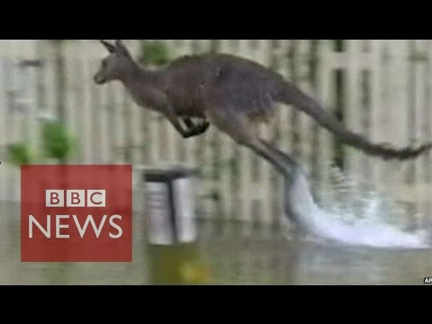 Australia: NSW floods force people and animals to flee - BBC News