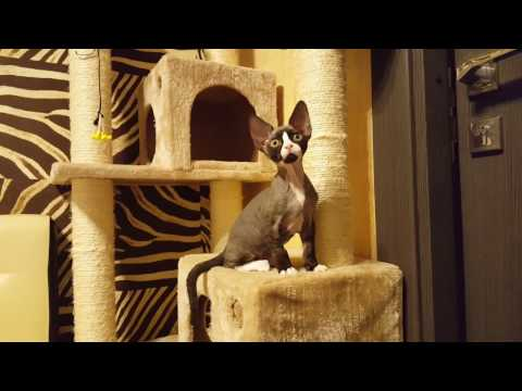 Kittens breed Devon rex. Cattery Tenderling. Belinda.