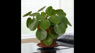 Growing the Chinese Money Plant (Pilea peperomioides)