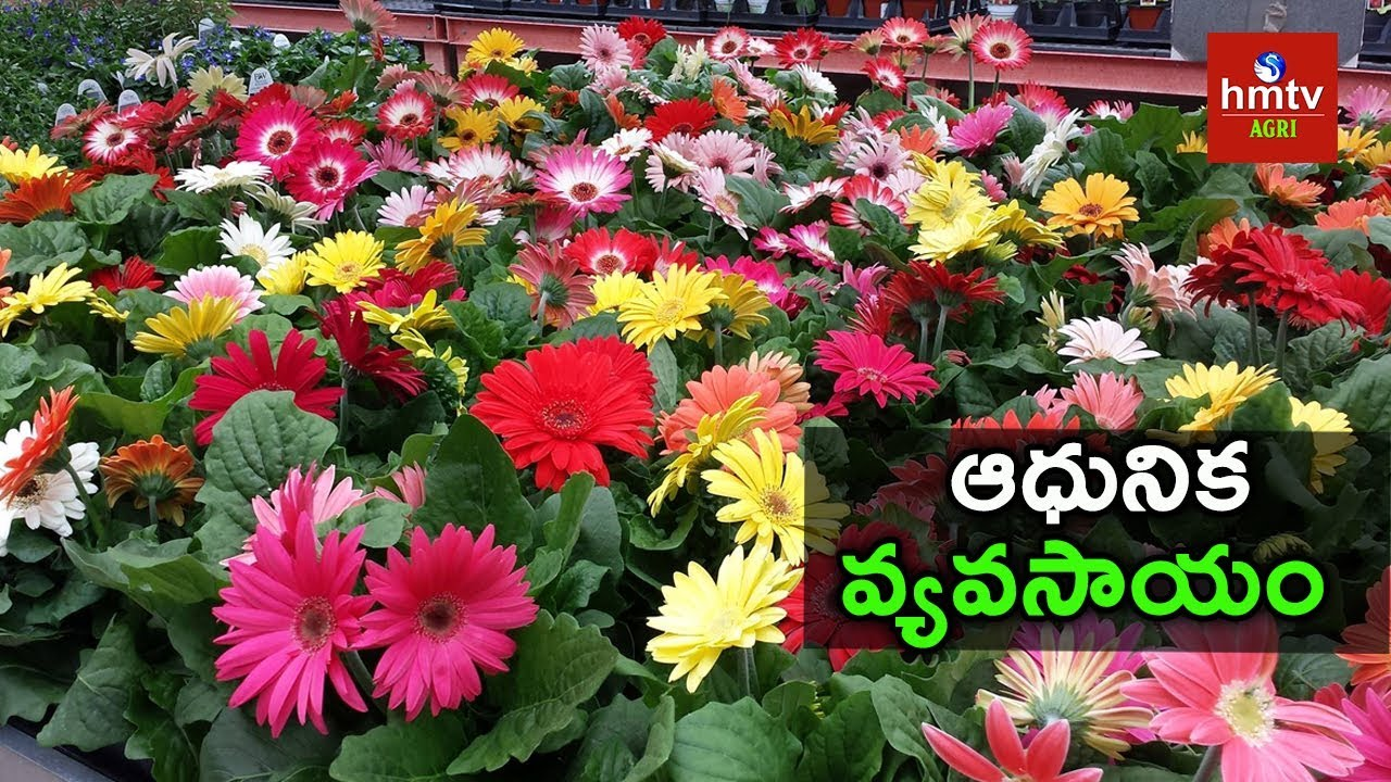 Gerbera Flowers Cultivation Techniques Polyhouse Farming Hmtv Agri Youtube