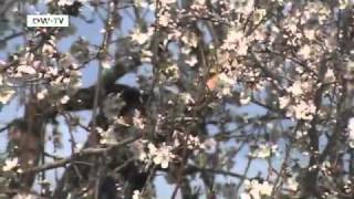 The Almond Blossom Season on Mallorca | euromaxx
