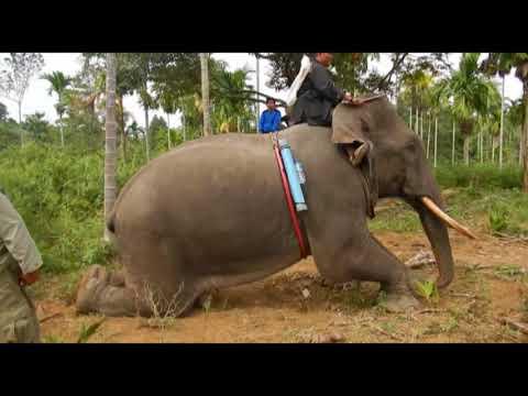 Pengiringan Gajah Liar
