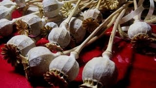 Poppy Seed Tea Recipe