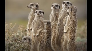 Meerkats Compilation - They are so Cute !