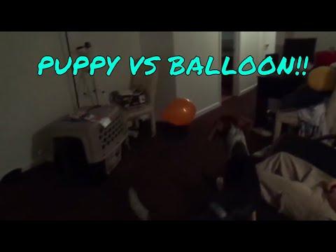 PUPPY VS BALLOON! FUNNY!