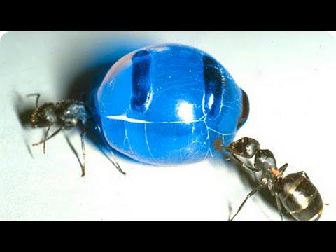Вопрос: Большинство муравьев по типу питания растительноядные или хищники?