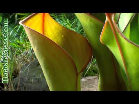 Гелиамфора - плотоядное растение хищник