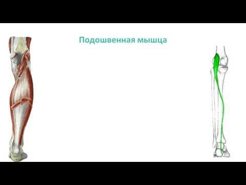 Мышцы голени: топография, строение, функции