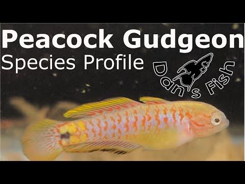 Peacock Gudgeon - Species Profile