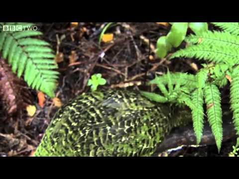 Clumsy Kakapo  The flightless parrot   Natural World  Nature's Misfits preview   BBC Two clip1