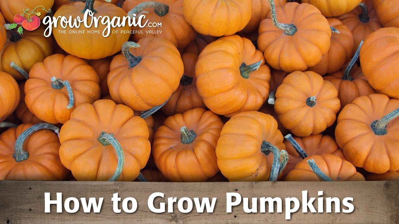 How To Grow Pumpkins You