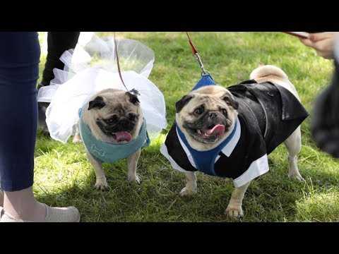 Pug breeder marries childhood love 50 years later at Pug Fun Day