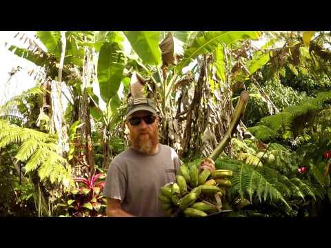 Jungle Homestead: Harvesting Bananas