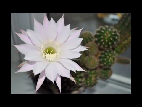CACTUS Echinopsis eyriesii. Цветок кактуса Эхинопсис. У меня зацвел цветочек)