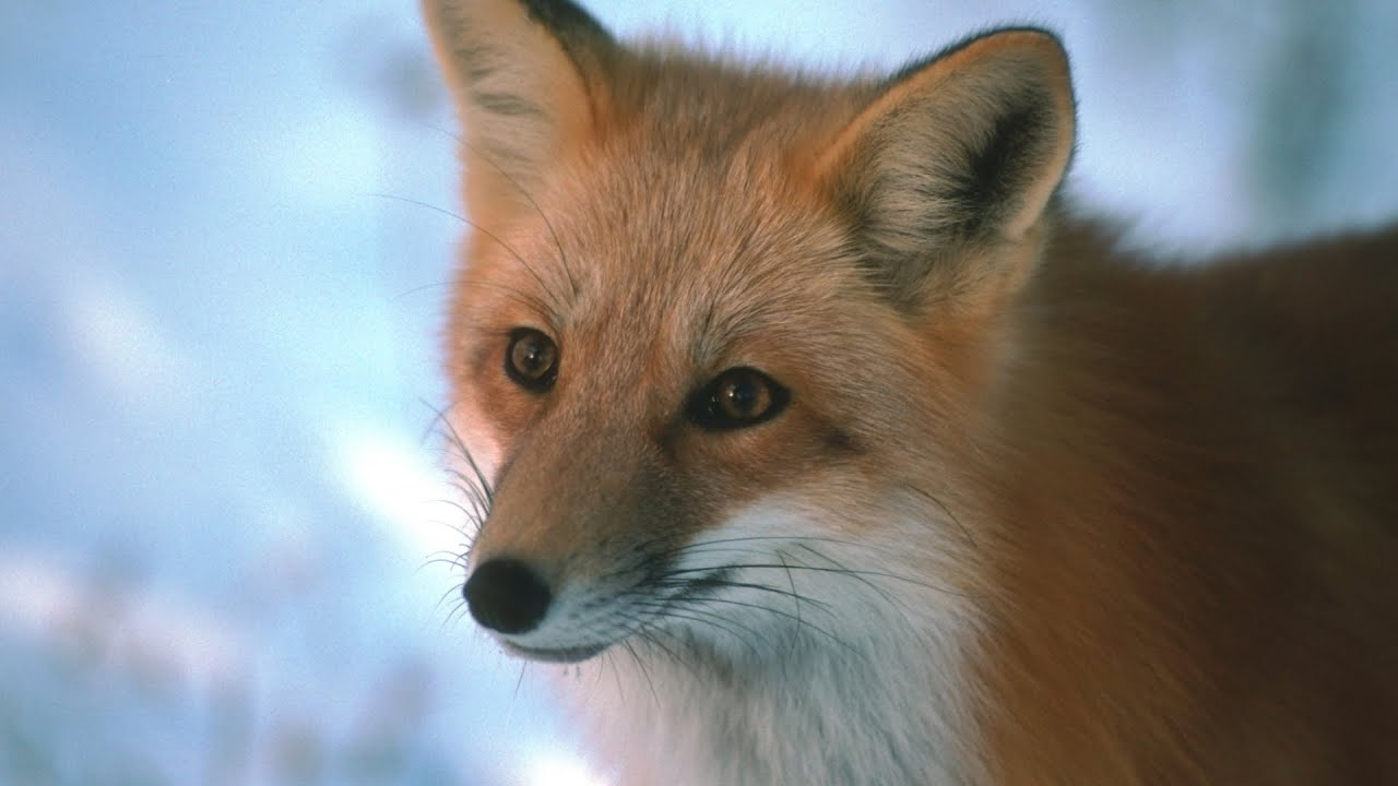 Foxes - SlideShow With Relaxing Classical Music