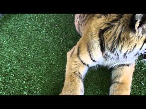 How tigers react to catnip !