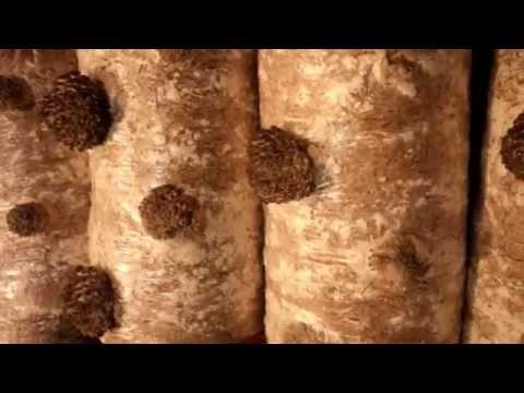 Продам грибы «Вешенки», купить грибы «Вешенки