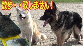 秋田犬・・私は致しません 散歩 致しません お座り 致しません お手 致...