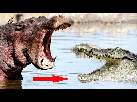 Версус. Бегемот в деле! Бегемот против льва, крокодила, буйвола и даже слона!