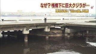 なぜ?桟橋の下に体長20メートルのクジラ 千葉(13/07/29) thumbnail