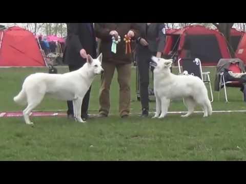 White German Shepherd vs White Swiss Shepherd - Difference Explained.mp4
