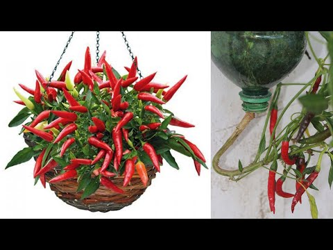 Grow Upside Down Chili Peppers | Grow Chili Peppers Technology | Vertically