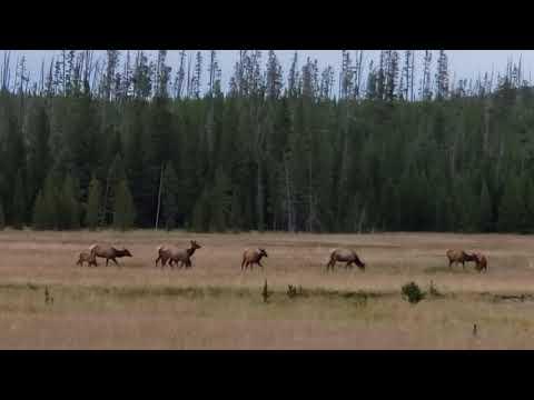 Elk @ Yellowstone National Park, WY. Elk Creek area. 8-1-2019