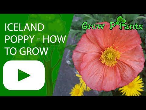 Iceland poppy flower - How to grow Icelandic poppies