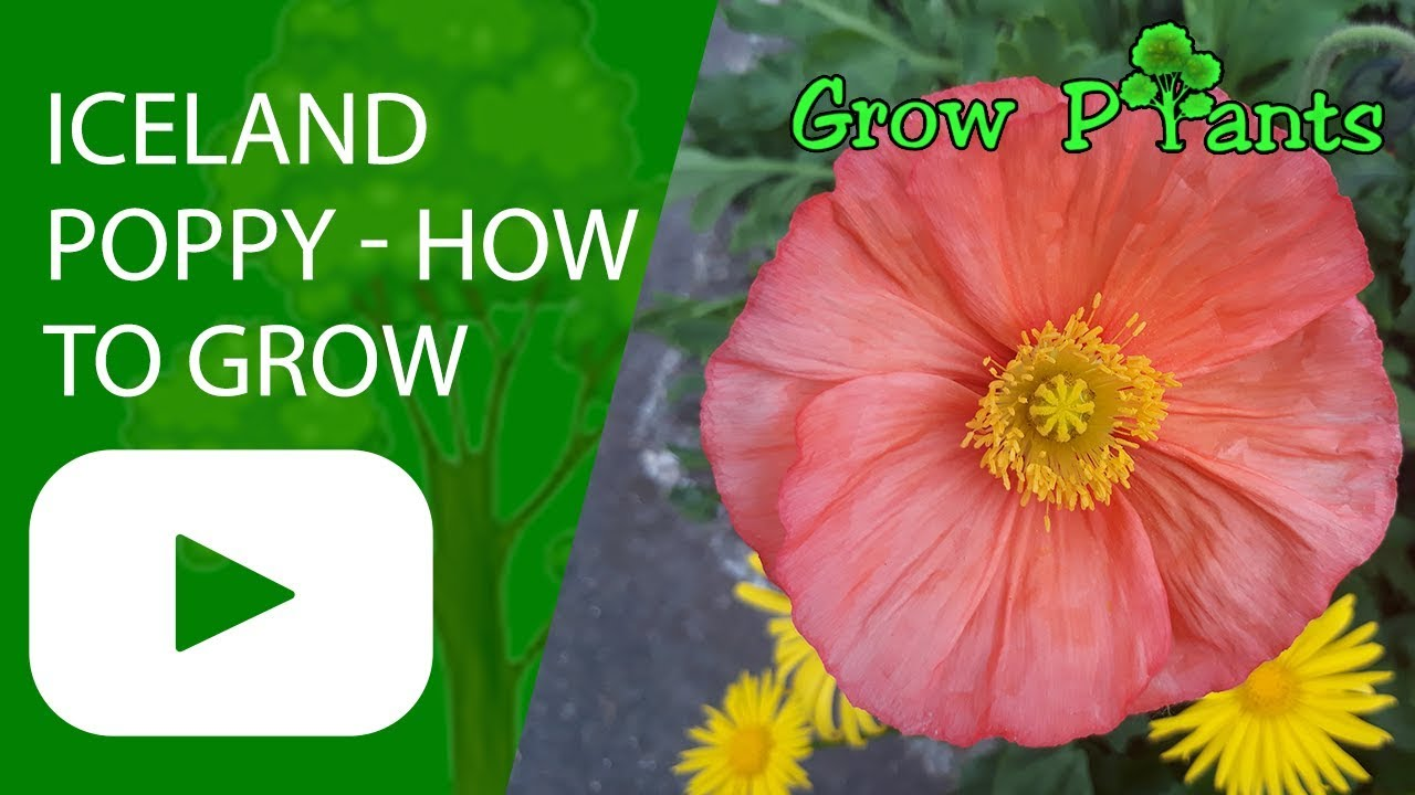 Iceland Poppy Flower How To Grow Icelandic Poppies Youtube
