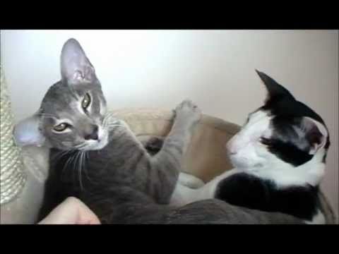 My Sweet Lily and Moo - oriental kittens :o)