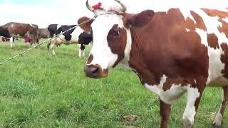 супер!!!!! обедняя дойка коров на лугу